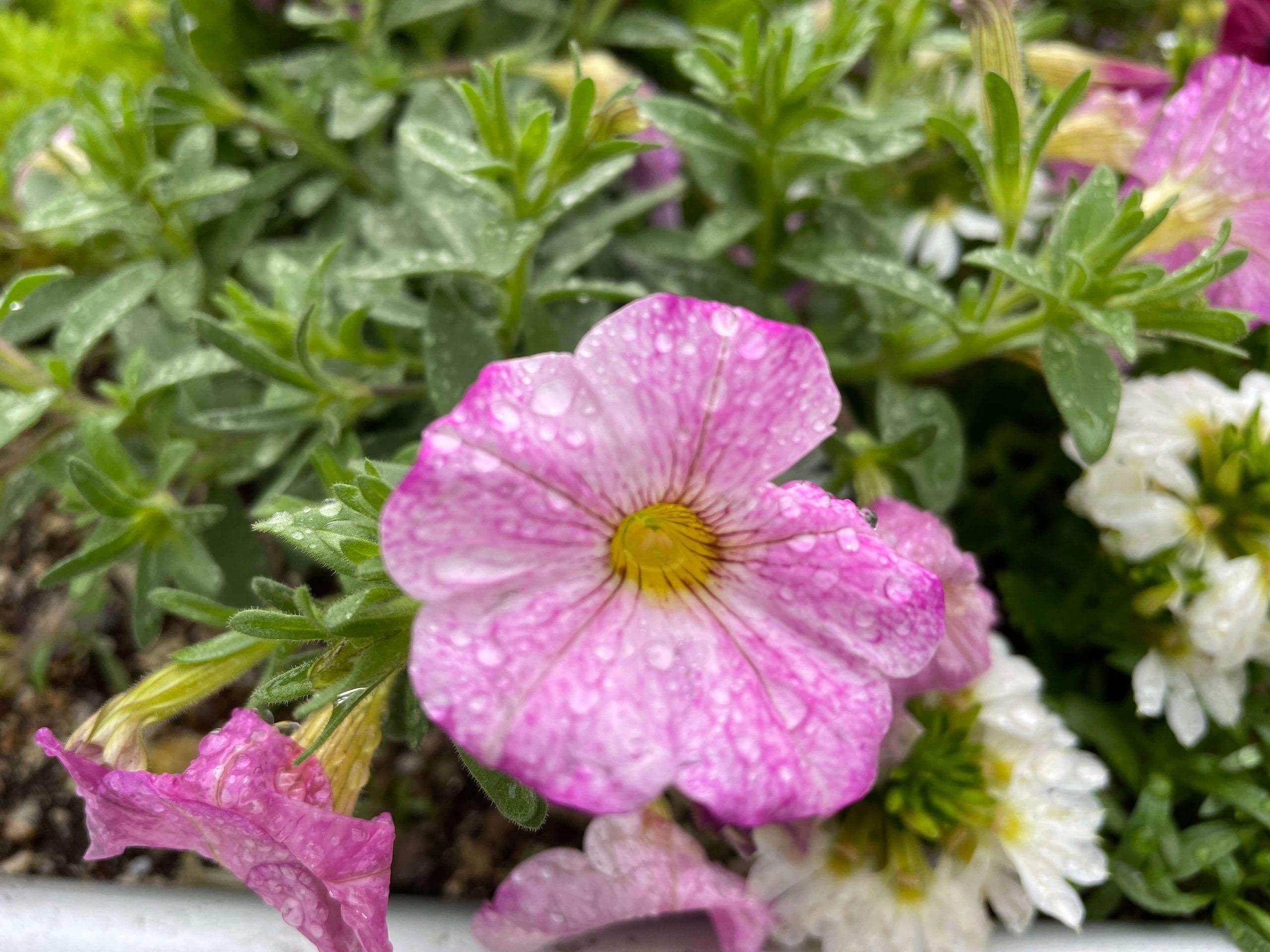 花(iphone12mini)